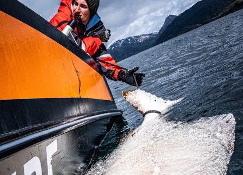 S系列海钓鼓轮OSL06DH渔获, 巨型比目鱼( 挪威钓场)